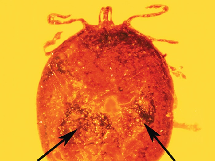 This fossilized tick in amber contains mammalian blood. © JOURNAL OF MEDICAL ENTOMOLOGY / GEORGE POINAR