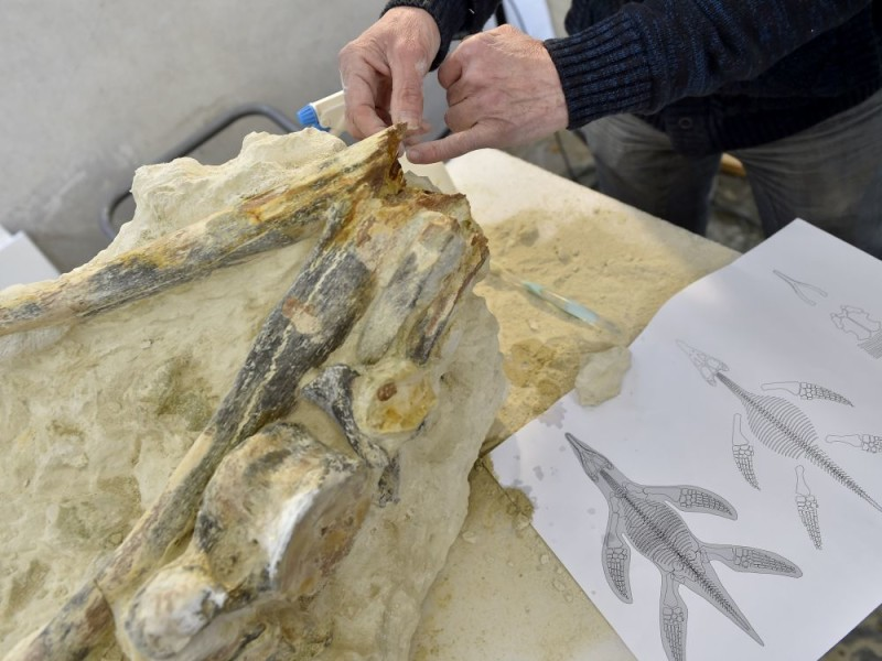 A paleontologist presents the fossil of a mandible belonging to the plesiosaurus discovered at Tuffalun: LOIC VENANCE